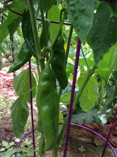 BB Barns Garden Center, Garden Tours, Jalapeno peppers, Transplanted and Still Blooming, Cinthia Milner